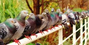 Rang de pigeons